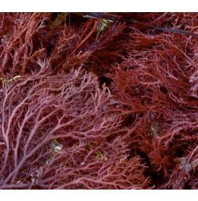 Agar Agar, beneficii si utilizari ale gelifiantului de origine vegetală